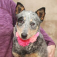 Ellie is a beautiful 1 year-old Blue Heeler with gorgeous markings. She was an owner surrender because she chased the neighbor's cattle. No surprise there as that is what these dogs are bred to do! From the shelter, Ellie made […]