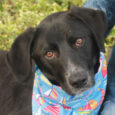 Meet Jake, a very handsome 1 year-old long-legged Lab mix male who came into a shelter as a stray. He was very frightened there so once his stray hold was up, he went into a local foster home until he […]