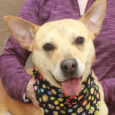 Layla is a bright-eyed and alert 1 year-old Lab/Husky/Mountain Cur mix female who found herself homeless at an overcrowded county dog shelter and made the trip to Canine Lifeline so she could take her time finding the best new home. […]