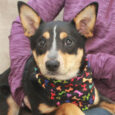 Lola is a beautiful 1.5 year-old Cattle Dog/Kelpie mix female who's a great size at about 24 pounds. She found herself homeless at an overcrowded county dog shelter and made the trip to Canine Lifeline so she could take her […]