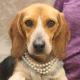 Sweet Lyric is a beautiful 3 year-old Beagle who was found as a stray in a rural area along with her buddy Weber and taken to the local county dog shelter. When they weren't claimed, the pair made the trip […]