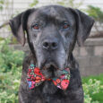 If you've got a soft spot for seniors, you'll want to meet Major, our 7-8 year-old Mastiff mix, who is a true gentle soul and one outstanding dog! This poor guy was found as a stray and taken to a […]