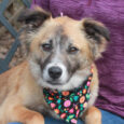 This beautiful 2 year-old Collie mix is Millie. She was found as a stray along with her brother Finn and taken to a rural county dog shelter. When they weren't claimed, both made the trip to Canine Lifeline so they […]