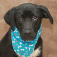 Looking to add some puppy energy to your life? Newman, our friendly and outgoing 8 month-old Lab mix can do just that! This adorable kiddo is 100% puppy and sure knows how to enjoy life. He and his brother Ryder […]