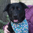Oreo is a beautiful 1 year-old Lab mix girl with a soft wavy coat. She was surrendered to a county dog shelter because she snapped at a 2 year-old child who tried to take her bone away while she was […]