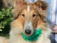 Poppy is a gorgeous 1.5 year-old Collie who was surrendered to a partner rescue along with her buddy Calista by a backyard breeder who, fortunately, no longer had time for the dogs. The rescue reached out to us for help […]