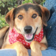 This fabulous boy with the sweet smile is Rex, a 1-2 year-old Shepherd mix who has loads of charm and personality. He came to us via a shelter as an unclaimed stray so we have no history on his pre-shelter […]