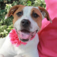 Sky and her sister Karma are two charming and very cute 6 month-old Boxer mix sisters (note the adorable little underbites!) who were surrendered to a county dog shelter by their owner as part of an unwanted litter that they […]