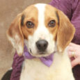 Weber is a very good-looking 3 year-old Beagle boy who was picked up as a stray along with his friend Lyric. The two dogs were taken to the local county dog shelter and once their stray hold was up, they […]