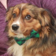 Adorable with a capital A is the only way to describe this charming 2 year-old boy who looks like a mix of Sheltie, Corgi, and Cavalier King Charles. We don't know for sure what mix of breeds have contributed to […]