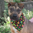 Chet is a 7 month-old Shepherd mix pup who's been through a lot in his short life. Sometimes we wish he could tell us exactly what experiences he's had as he can be very nervous and skittish in new situations […]