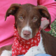 Clancy is a very handsome long-legged 3 month-old pup with Aussie coloring and a slim build. He's a true All-American mutt and since he was abandoned along with his two siblings on someone's property in a rural area, we have […]