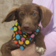Corky is an adorable 3 month-old pup whose breed mix is truly anyone's guess. This little man is a true All-American mutt and since he was abandoned along with his two siblings on someone's property in a rural area, we […]