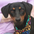 Marlee is a beautiful 1 year-old long-legged Hound/Beagle mix girl with beautiful markings and a sweet puppy face. She found herself homeless at an overcrowded county dog shelter and when her stray hold was up, made the trip to Canine […]