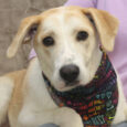 This handsome gentleman is Theo, a 1 year-old Husky/Lab mix boy who walked into a grocery store and made himself comfortable! Smart boy as he found food and air conditioning all at the same time! Sweet as he was in […]