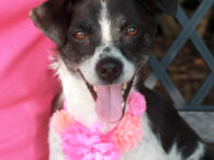 Addie is a very sweet and charming 3 year-old Terrier/Feist mix girl who came to us about a month ago with her six pups. She was found as a stray in a rural area. Someone was sitting on their porch […]