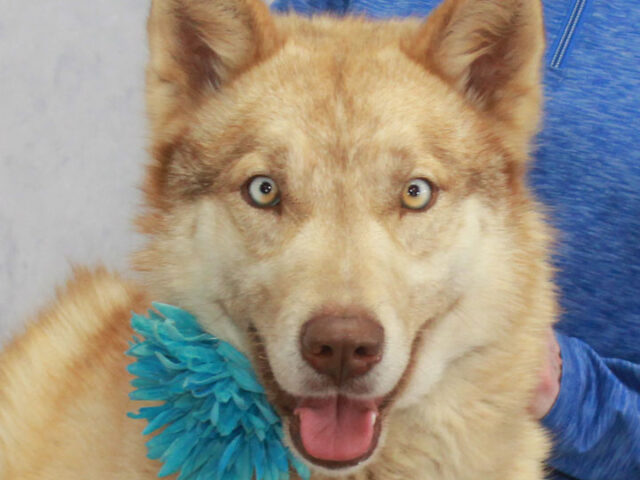 If you love Huskies, you're going to be crazy about Sadie, our wonderful 1.5 year-old girl. This lovely dog with the gorgeous bi-colored blue and hazel eyes came into a shelter last winter with an old injury to her back […]