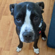 Bucky is a very lovable 10 month-old Boxer mix pup with loads of personality and charm along with a sweet little underbite. He was found as a stray and when he wasn't claimed at the shelter, made the trip to […]