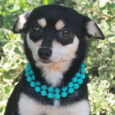 Cindy is a lovely little 8 month-old Chihuahua/Terrier mix spayed female who was surrendered along with three other small dogs to an overcrowded rural county dog shelter by her owner who could no longer care for her. We don't know […]