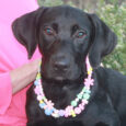 Dorie is a beautiful 7 month-old Black Lab mix pup who came into an overcrowded rural county dog shelter along with her sister Kaya. Both pups made the trip to Canine Lifeline so they could take their time finding permanent […]
