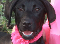 Kaya is one of two 7 month-old Black Lab mix sisters who came into an overcrowded rural county dog shelter. Shortly after entering the shelter, Kaya broke with parvo but fortunately had a mild case and has made a full […]