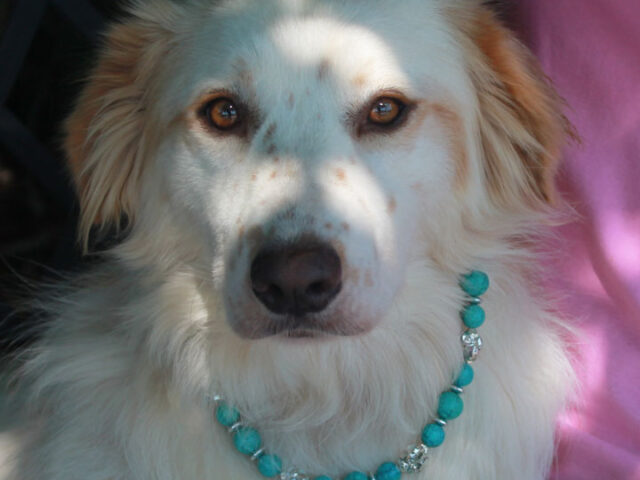Natalie is a beautiful 2-3 year-old Great Pyrenees mix with a soft silky coat who likely has some Retriever or Setter in her family tree. She came into an overcrowded rural county shelter as a stray with an old injury […]