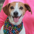 Ringo is a very handsome and sociable 7 year-old Jack Russell Terrier mix neutered male who was surrendered to an overcrowded rural county dog shelter along with another dog (Pip AKA Baby) by his owner who could no longer take […]