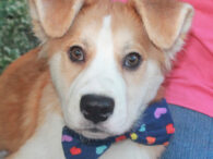 Looking for the perfect pup? We think we've found him in our four month-old Collie mix boy named Skip. This wonderful youngster found himself homeless at a county dog shelter and was treated for a hot spot on his back […]
