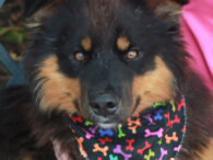 Bernie is a shy but very lovable 2-3 year-old English Shepherd mix male who was found as a stray and taken to the local shelter. No one came forward to claim him so he made the trip to Canine Lifeline […]