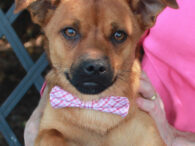 Brownie is an adorable 9 month-old Min Pin/Pug mix with a super-cute underbite and loads of charm and charisma. This little guy was surrendered to an overcrowded county dog shelter along with his sister Lily. We don't know what caused […]