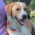 Meet Emily, a beautiful 1.5 year-old Retriever mix spayed female who finds herself looking for a new family to love. She came to us from an overcrowded rural county dog shelter so we have no history on her pre-shelter life. […]