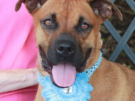 This bright-eyed, alert, and very photogenic girl is Gracie, a 3 year-old Boxer mix who came into a county dog shelter as a stray. She spent a few months at the shelter but no one chose her for adoption so […]