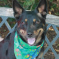 Jessie has it all—great looks and a fabulous disposition! This beautiful 6 year-old Kelpie/Shepherd mix female came into a county dog shelter as a stray and when she wasn't claimed made the trip to Canine Lifeline so she could find […]