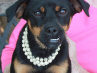 If you've got a soft spot for underbites (like we do!), take a look at Lily, a 9 month-old Min Pin/Pug mix girl who's got a great one! This little lady was surrendered to an overcrowded county dog shelter along […]