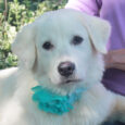 This gorgeous 6-7 month-old Great Pyrenees/Lab mix pup is Pearl. She came into an overcrowded rural county dog shelter along with her sister Lacy and both made the trip to Canine Lifeline so they could take their time finding permanent […]