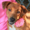 You'd be hard-pressed to find a sweeter dog than Sarah, a 2 year-old Lab mix female who finds herself looking for a new family to love. Sarah came into a rural county dog shelter as a stray and made the […]