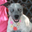 Xena is very kind and gentle 1.5 year-old Cattle Dog mix female with one solid blue eye and one brown eye flecked with blue. Her striking eyes suggest she might have some Aussie or Husky in her family tree. Xena […]